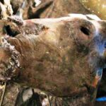 Берега рек Колымы. Часть 1. Мумия «первобытного» бизона